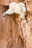 mountain-goat.jpg
